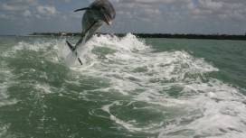 Dolphin jumps out of water in Crayton Cove, Naples FL